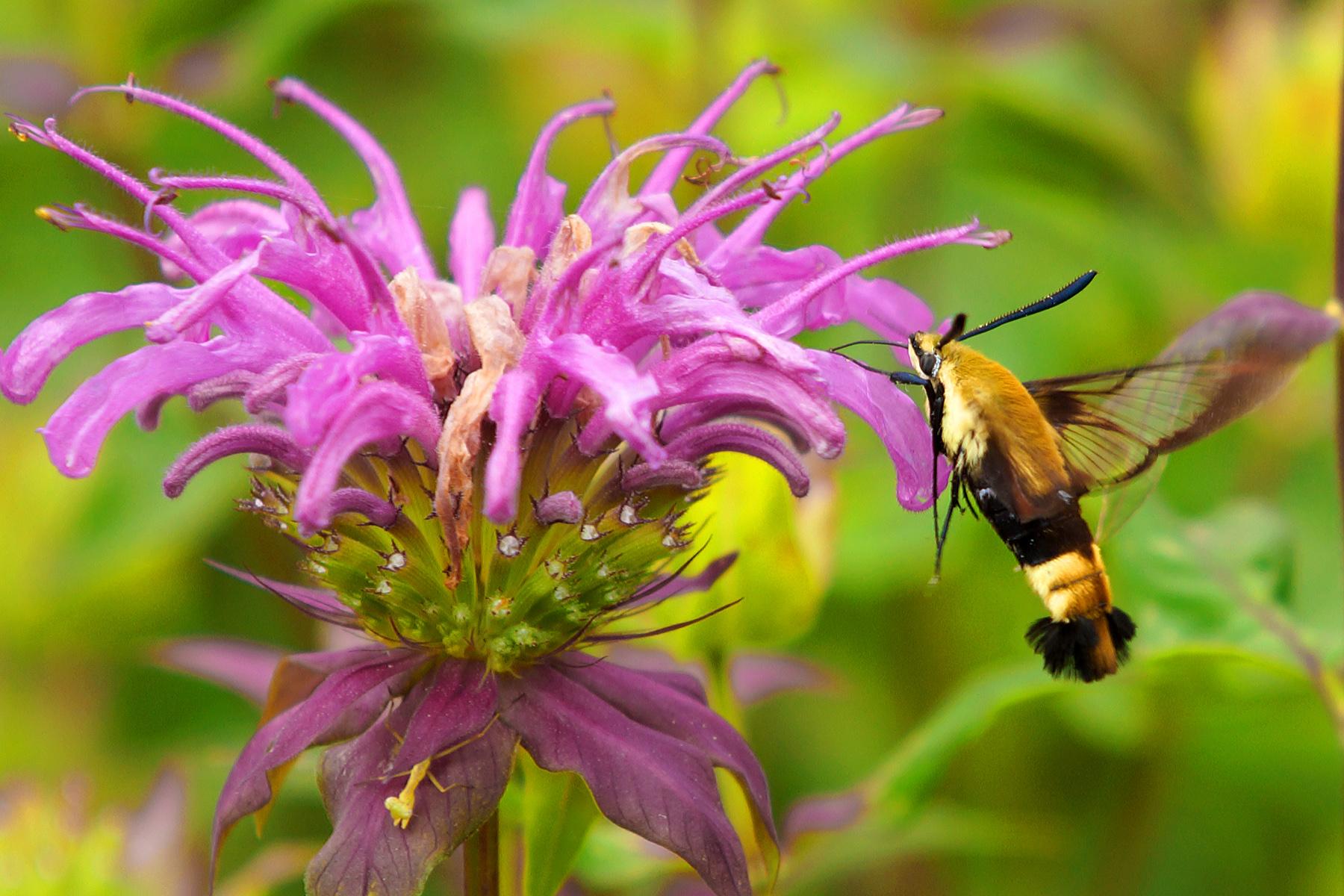 HummingbirdMoth - BillVansco.jpg