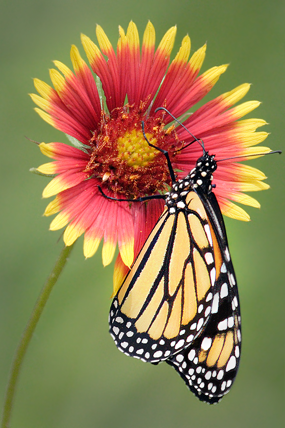 MonarchOnIndianBlanket - JimRoss.jpg