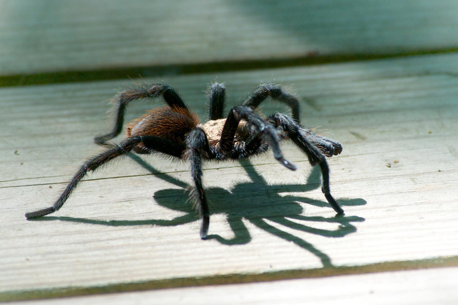 Tarantula - LeeHatfield.jpg