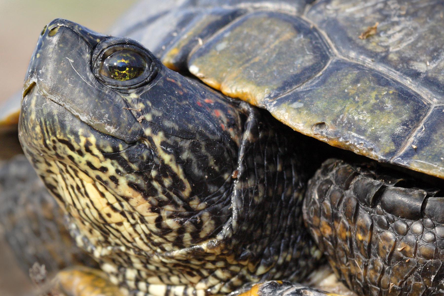 TurtleCloseup - JimRoss.jpg