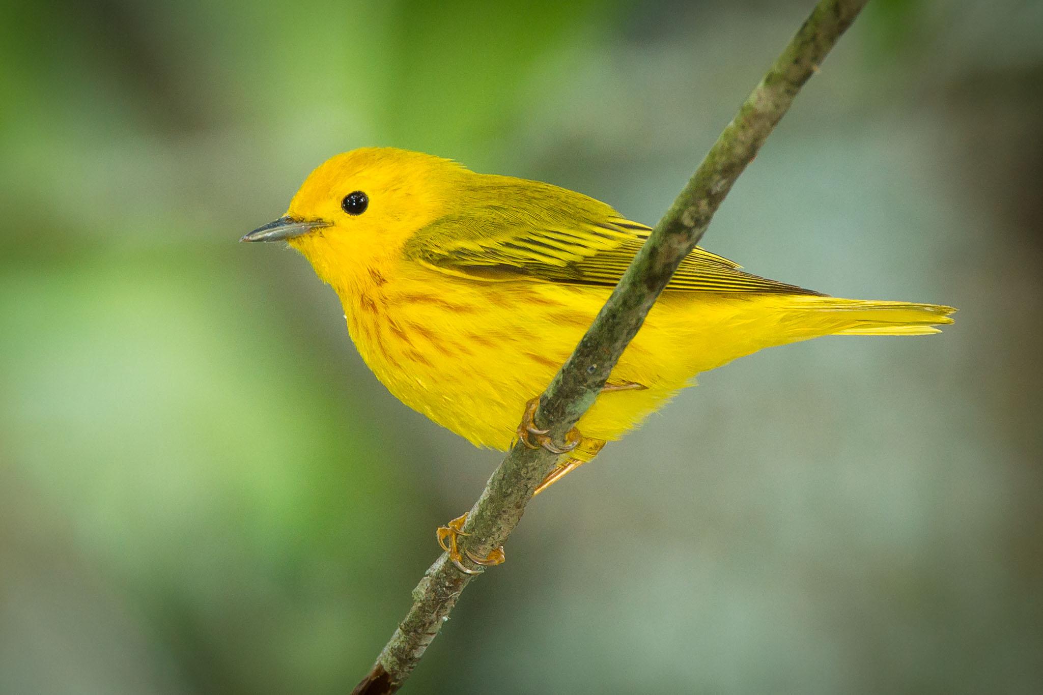 YellowWarbler - MikeCameron.jpg