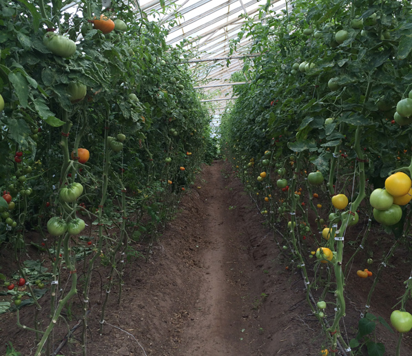 Heirloom tomatoes in Southern Sweden