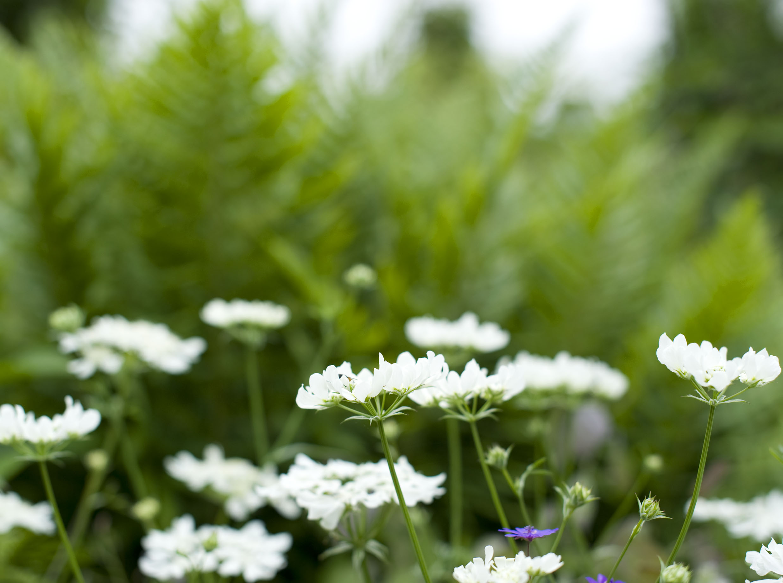 Delicate  Orlaya grandiflora