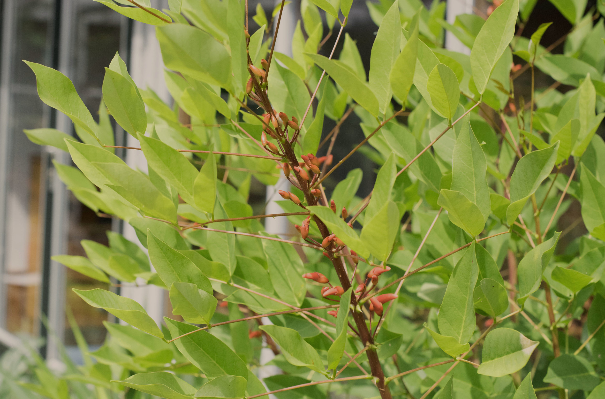 The unusual and spiny  Erythrina cristus-galli
