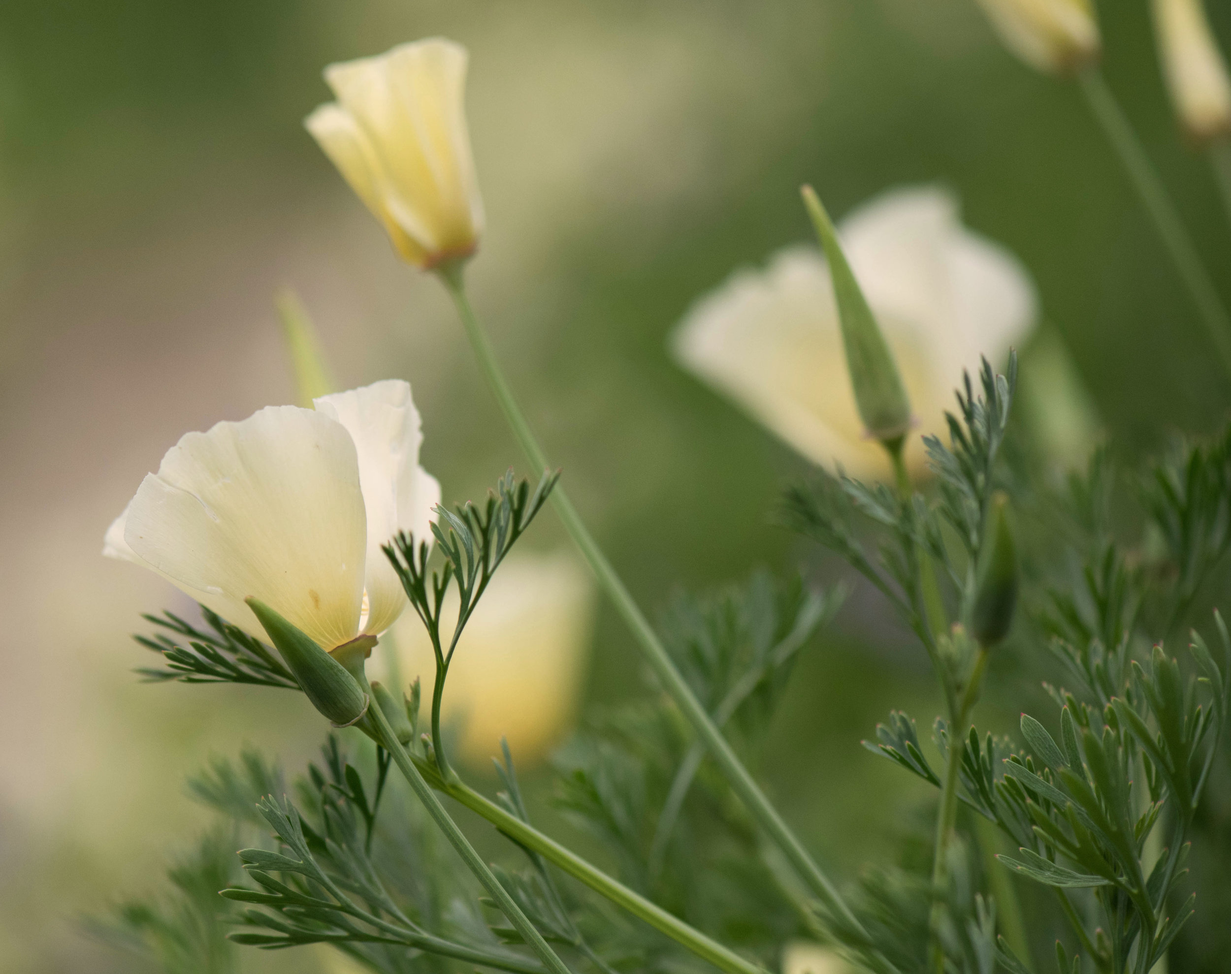 Excellent self sower  Eschscholzia californica  'Alba'