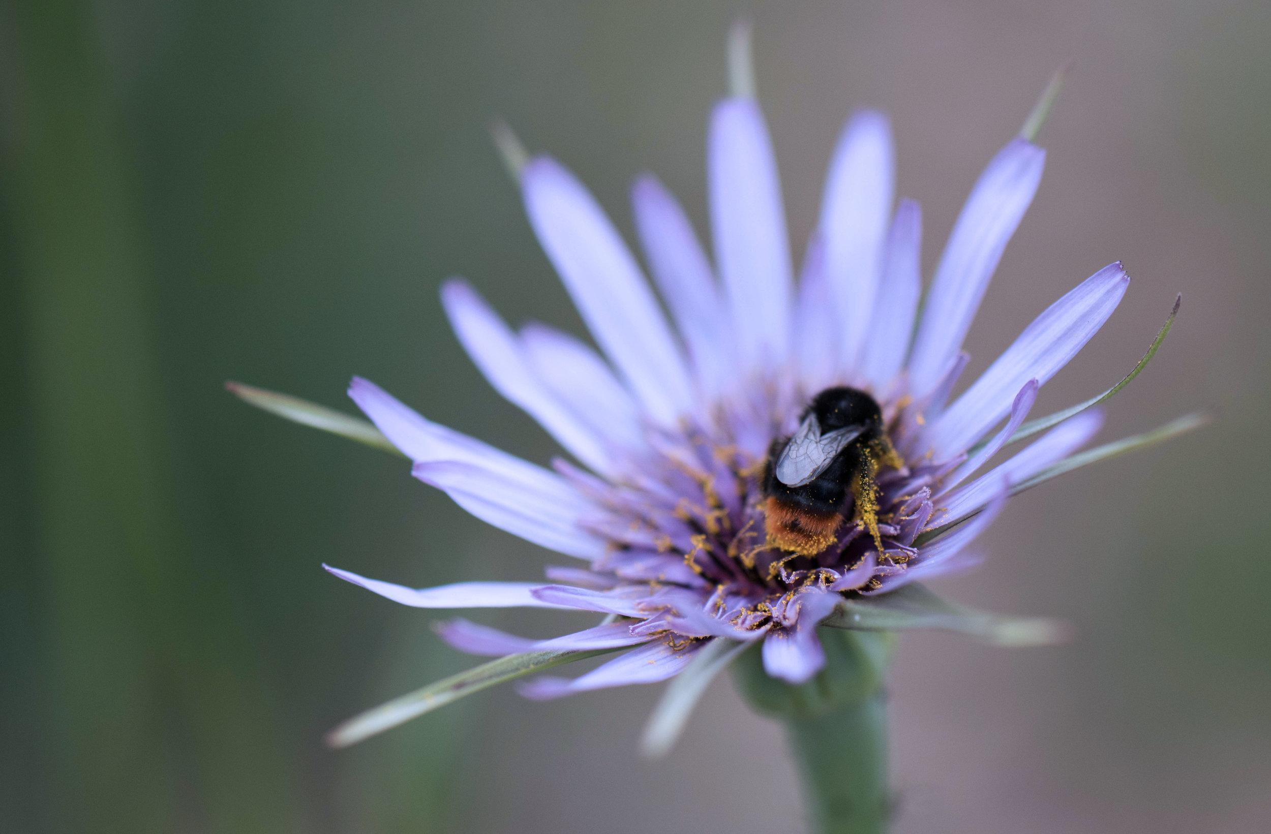 Tragopogon   crocifolius  visited by pollinators