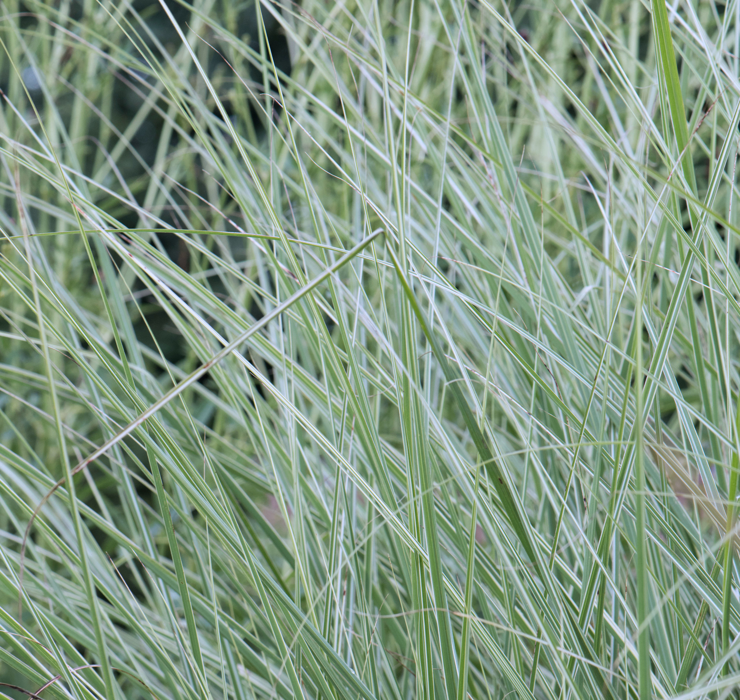 Striped foliage of  Miscanthus  'Morning Light'
