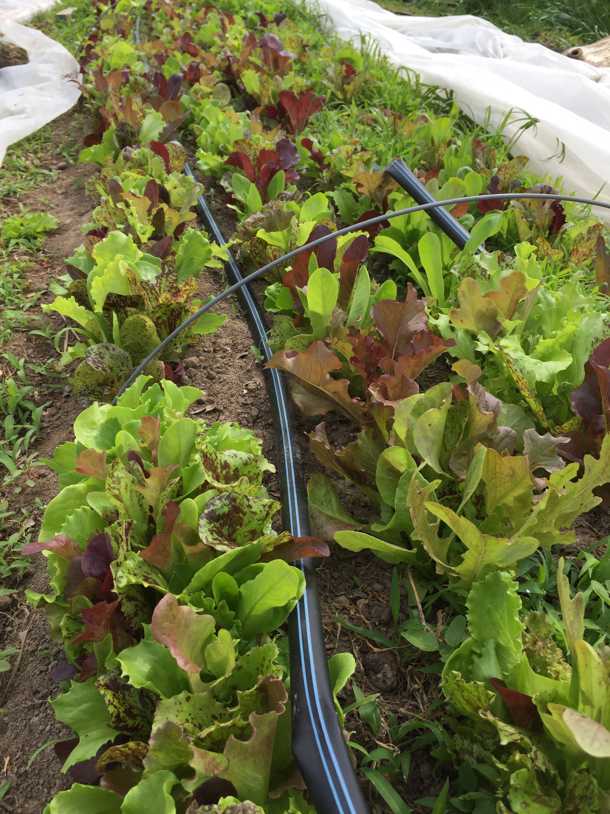 Yummy spring lettuce mix!! Look at that color!!