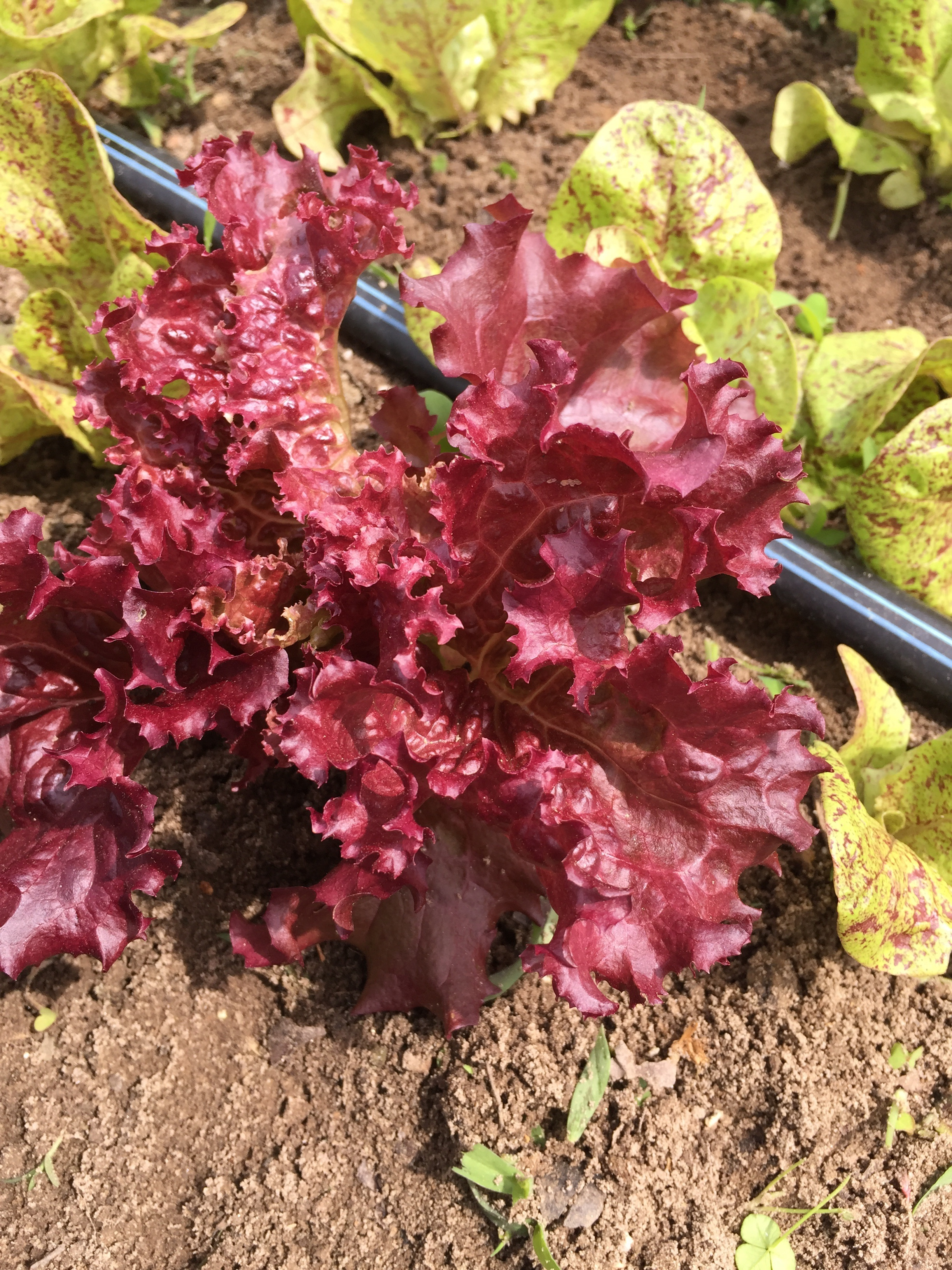 Red oak leaf lettuce!!
