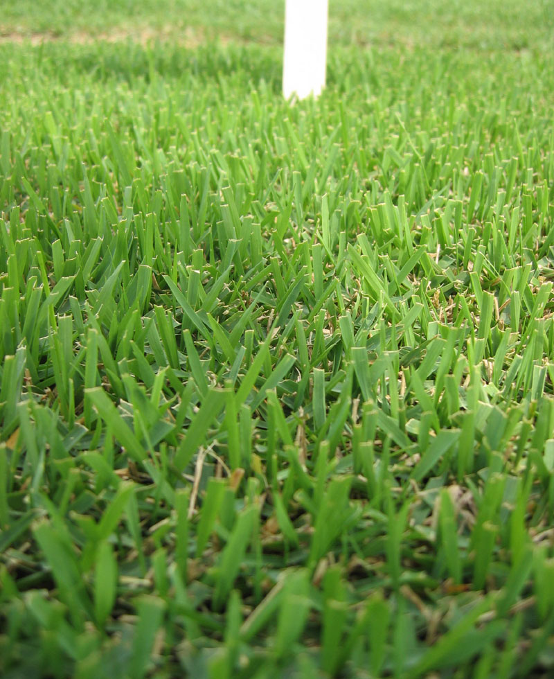 An example of a Zoysia lawn
