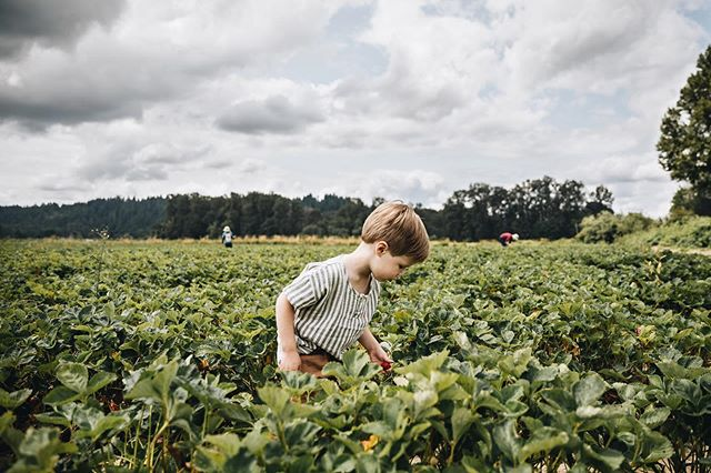 Determined little berry picker, though hardly any make it in the bucket. Swipe to see the difference a year makes. Missing the chub in those cheeks, but loving the young boy he's growing into. 🍓 #crewphinney