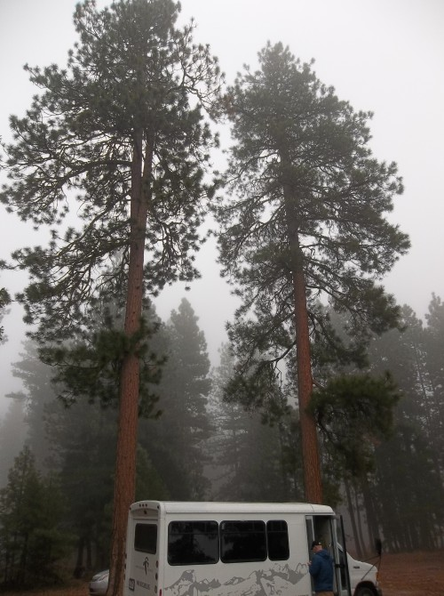 Packing up from our night in the Gardner Hut. Two   Ponderosa Pine  are pictured.