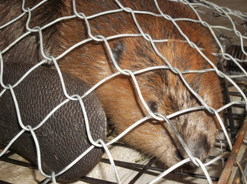 """Beaver in the self designed """"Beaver Trap."""" This keeps handlers and the beaver safe during all transportation."""