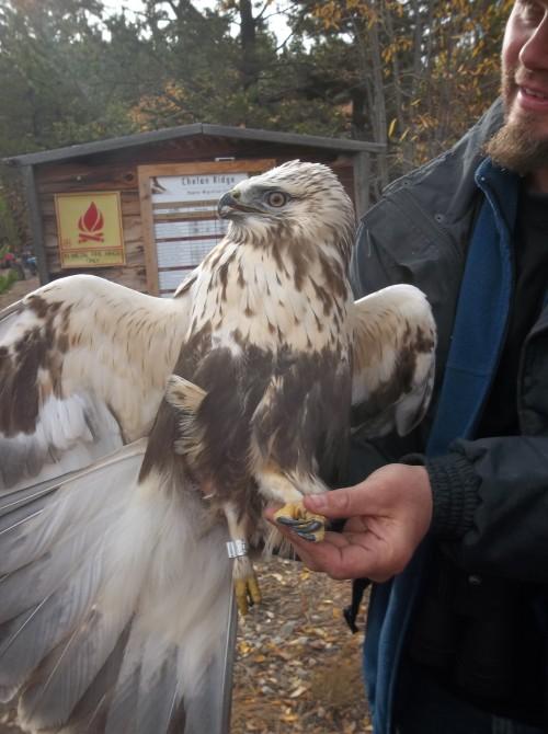 Jesse holding a recently captured Rough-Legged Hawk, a Buteo Hawk.