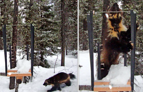 Frontispiece. Wolverine a the Slate Creek run-pole camera station in Washington. Photo courtesy of the Methow Ranger District.