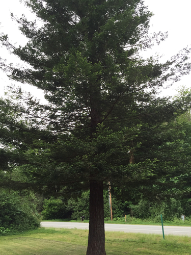 Coastal Redwood in front of the Blue House.