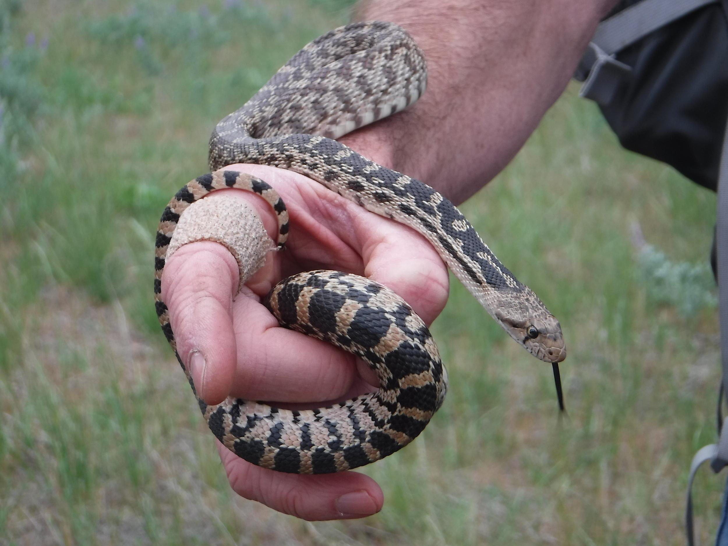 Gopher snake.
