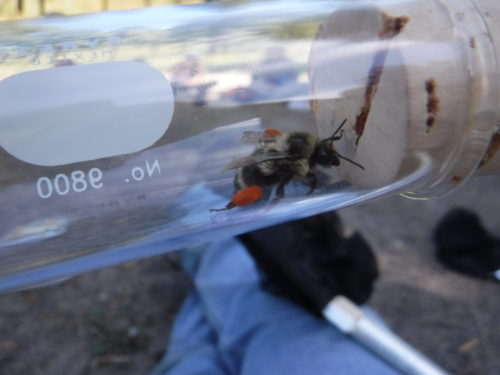 Native bee! Notice the orange pollen it is carrying.
