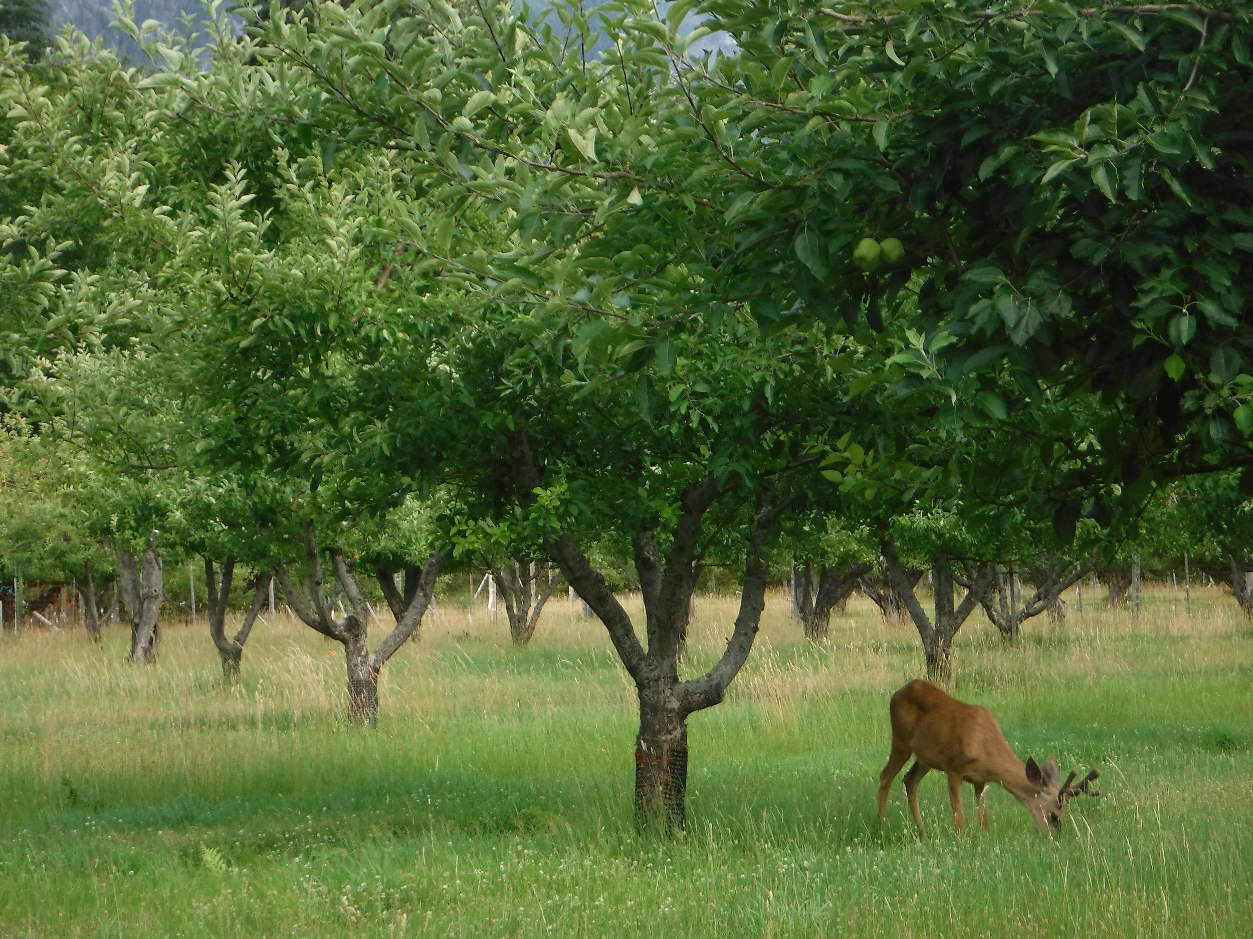Deer in the Bucknard Orchard