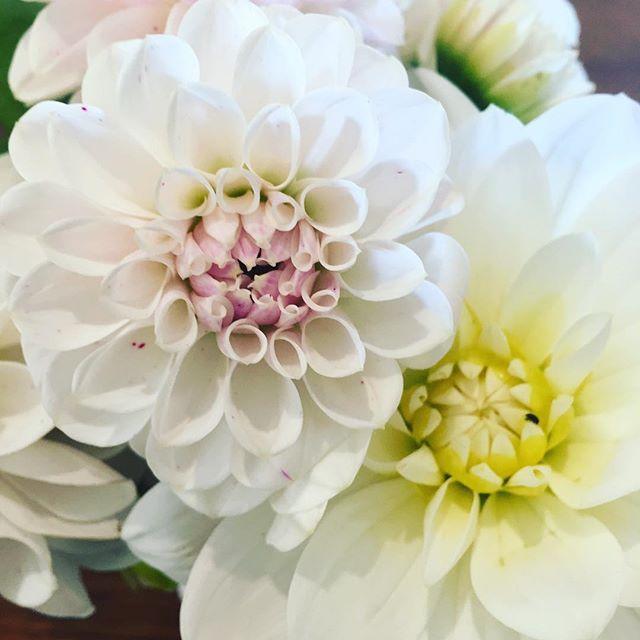 Still picking from my cut flower garden. #cut flowers #flowers #harleystudiogroup #dahlia