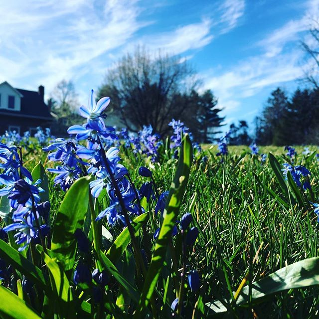 Blue squill, blue skys