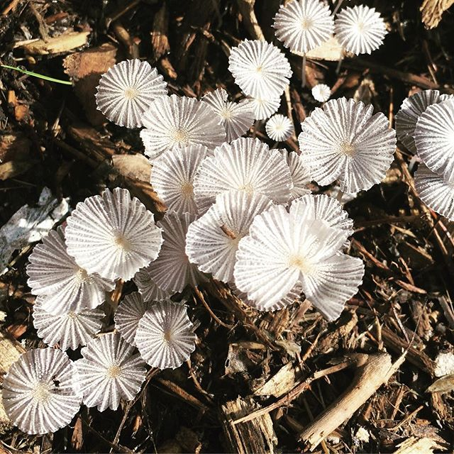 These pretty little mushrooms came in a round of mulch! Almost look like sea creatures! #landscape #landscapeconstruction