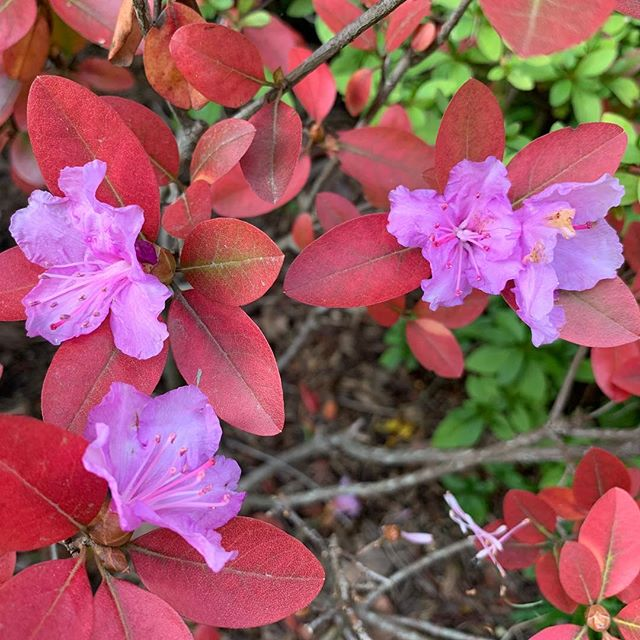 This is one confused PJM #rhododendron #globalwierding #landscapearchitecture