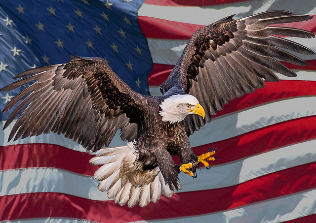 """""""USA Bald Eagle"""" by Andy Morffew via Flickr."""