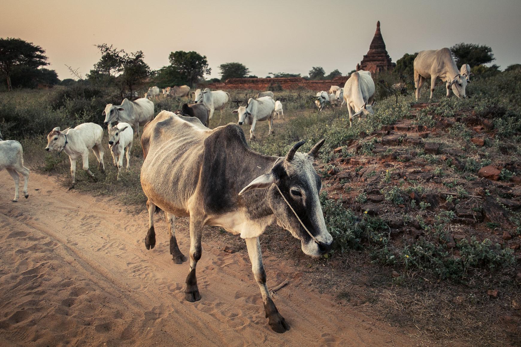 Bull_Crossing_Bagan_2.jpg