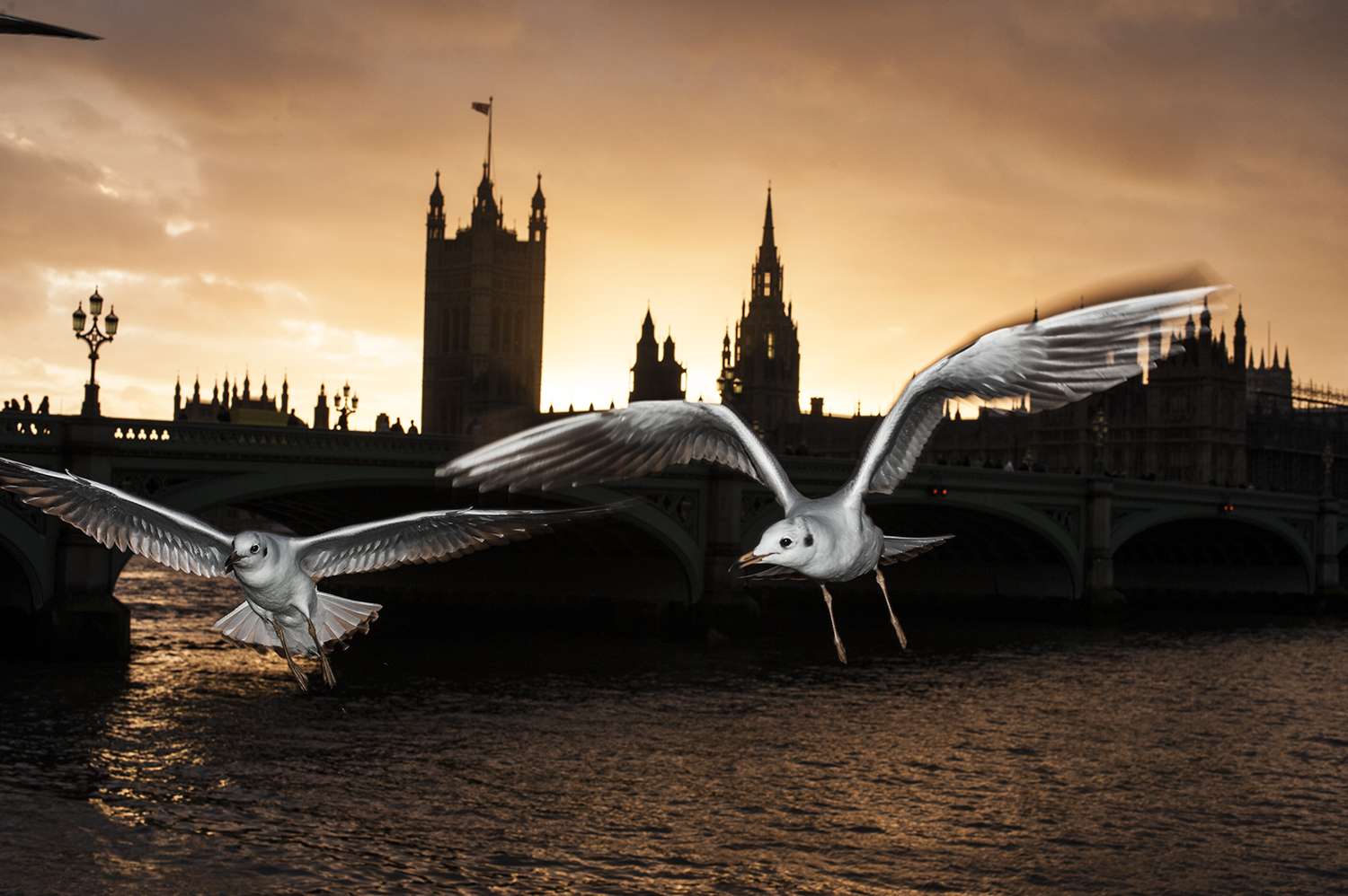 Seagulls in Westminster