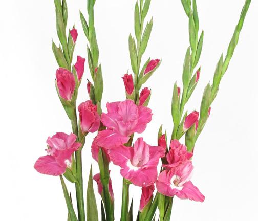 gladiolus pink