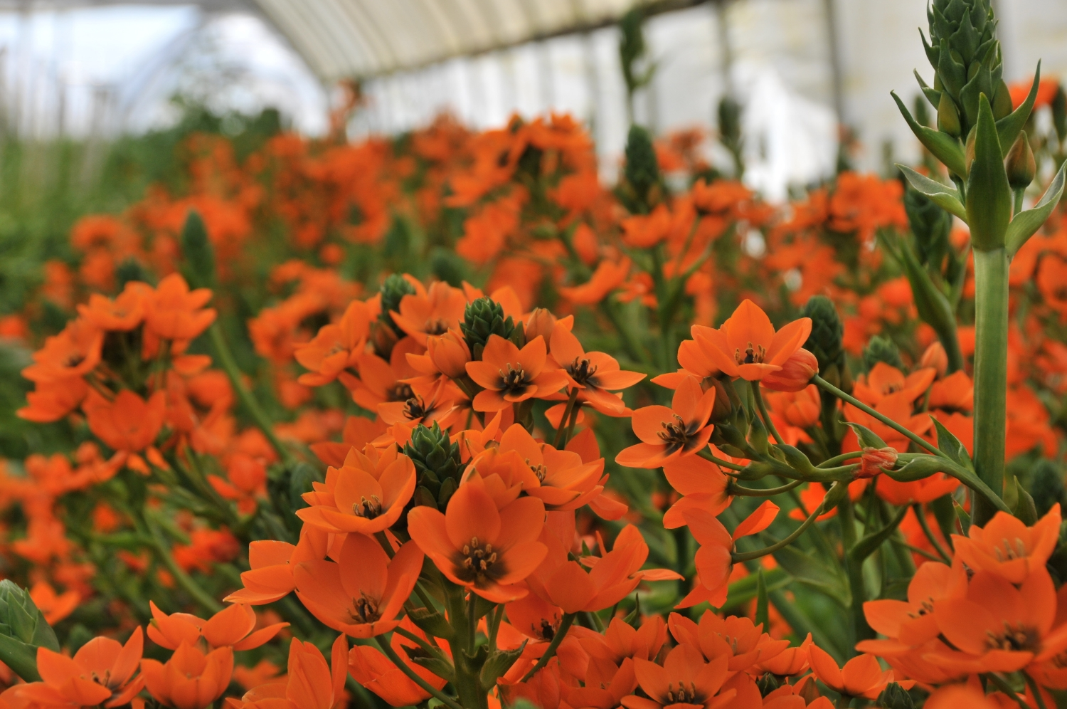 Ornithogalum dubium growing in a hoop house