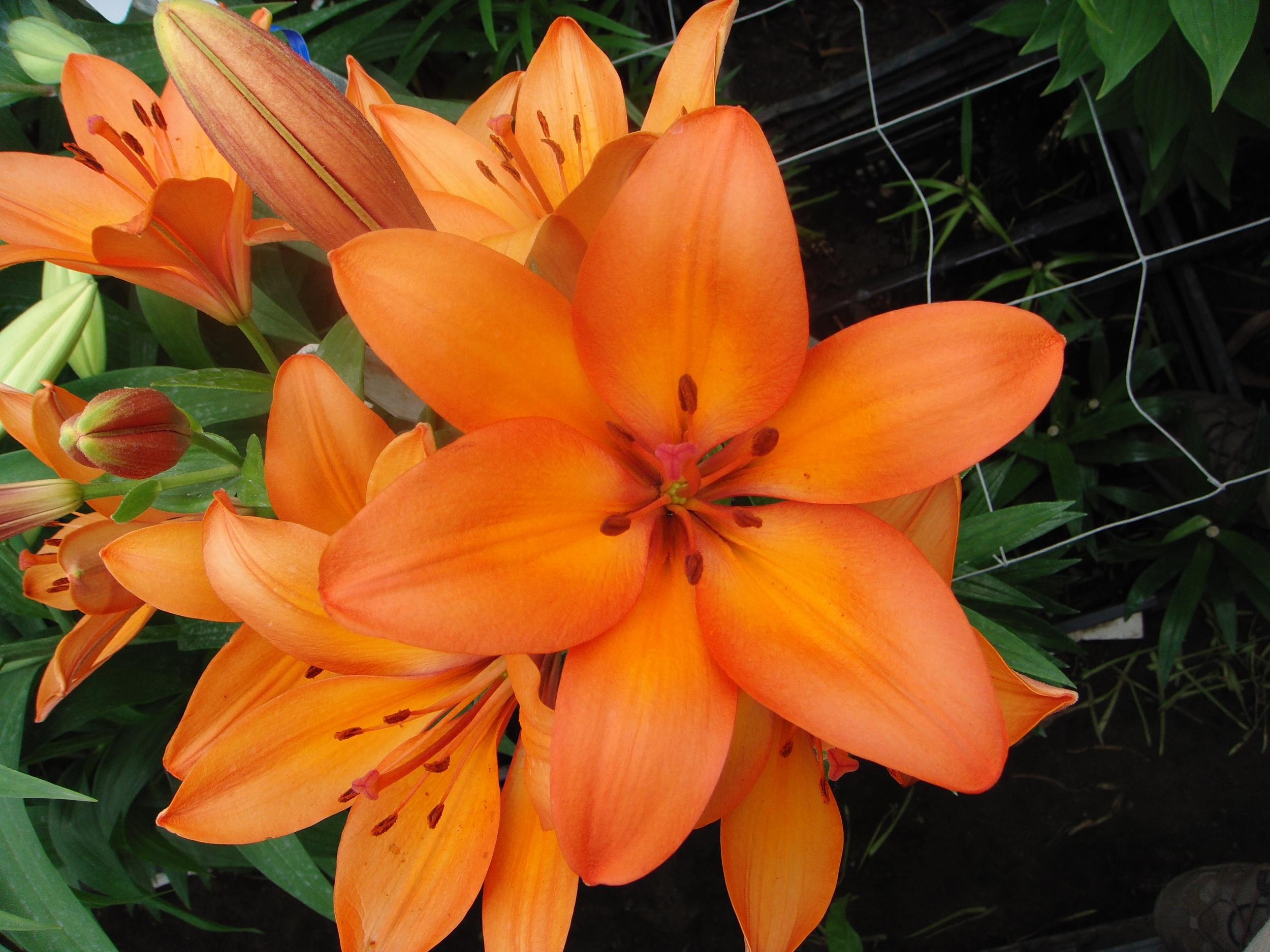 Orange LA Hybrid