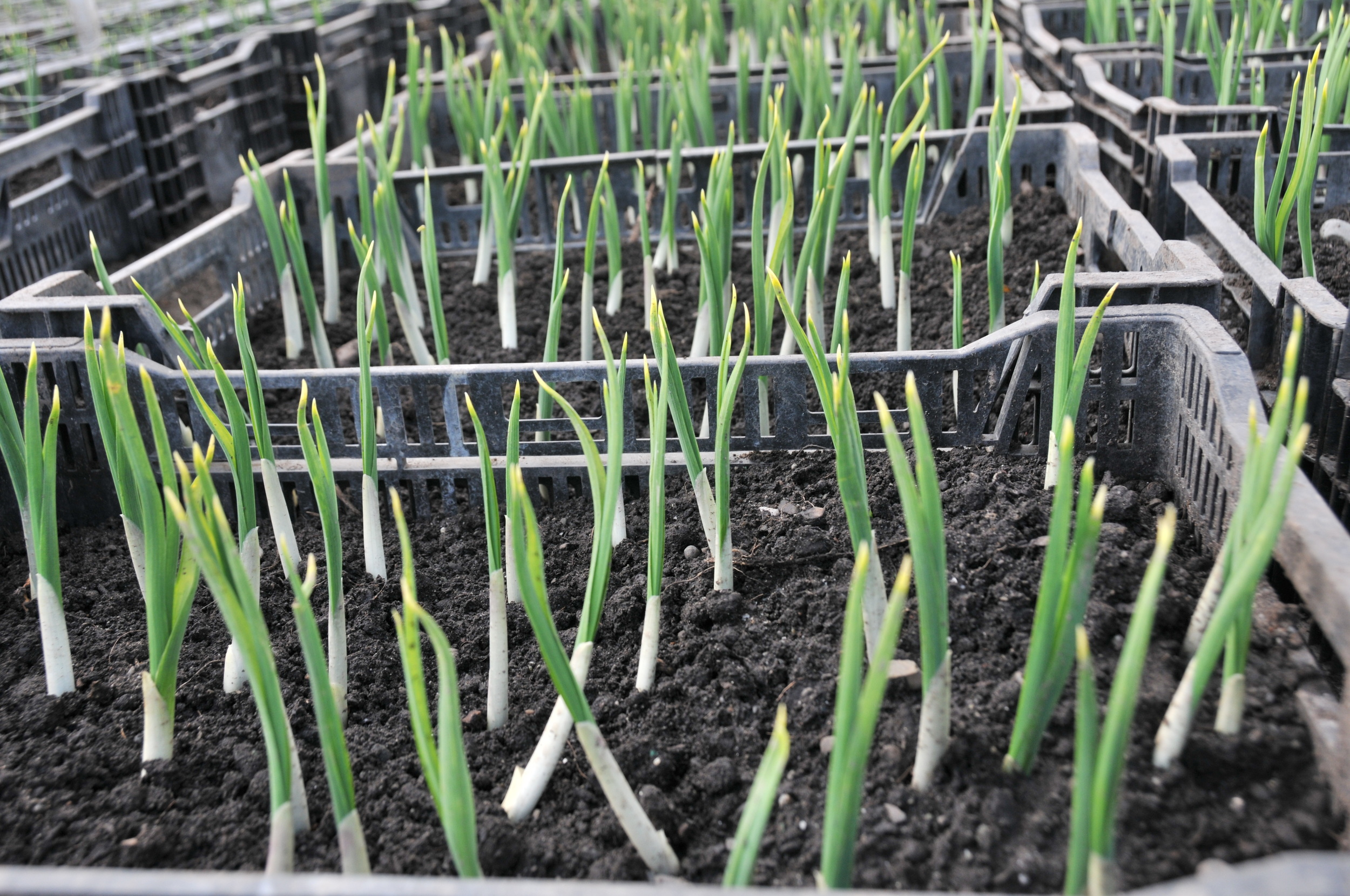Iris sprouts