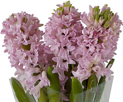 hyacinth-bloom-expert.jpg