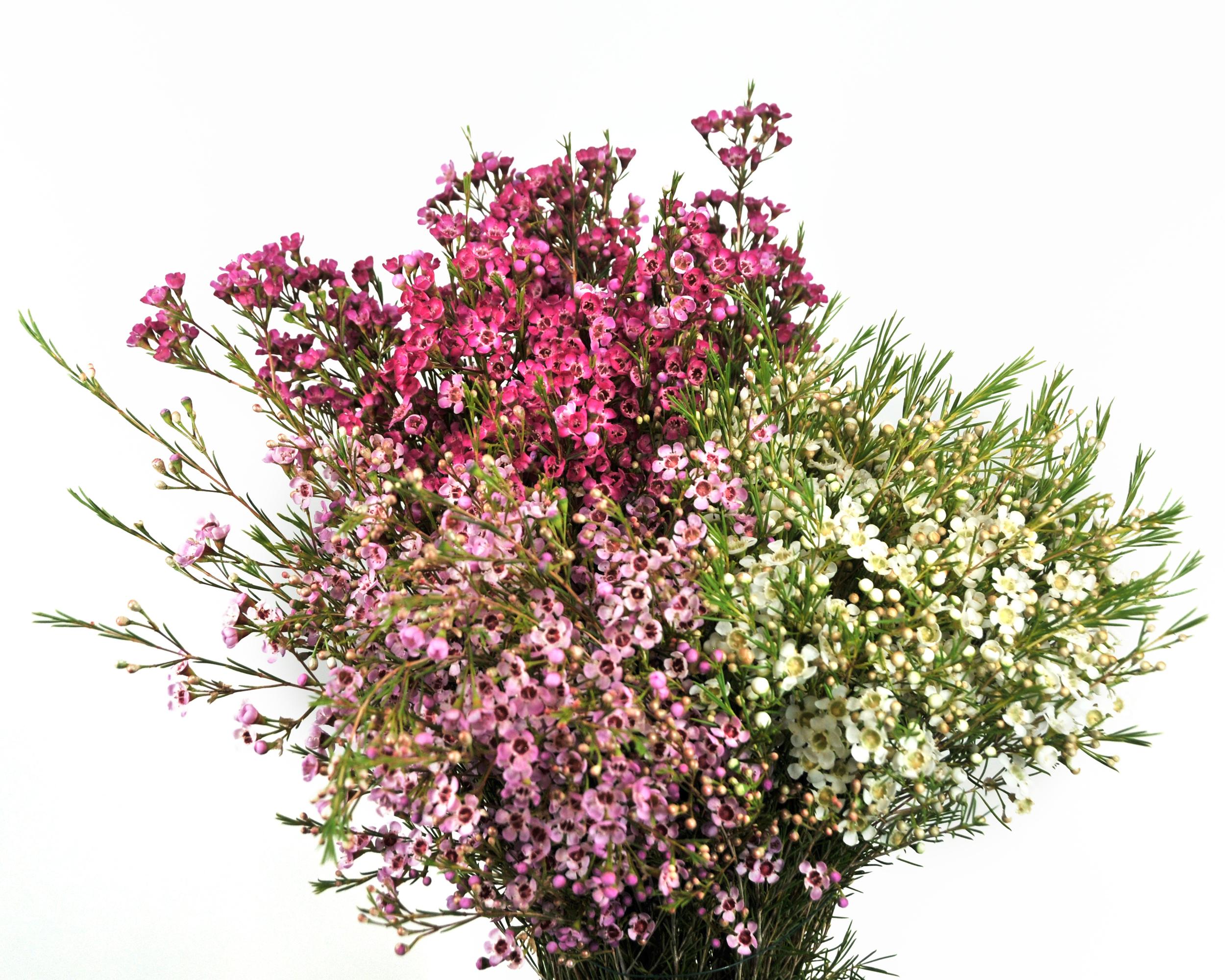 Waxflower information