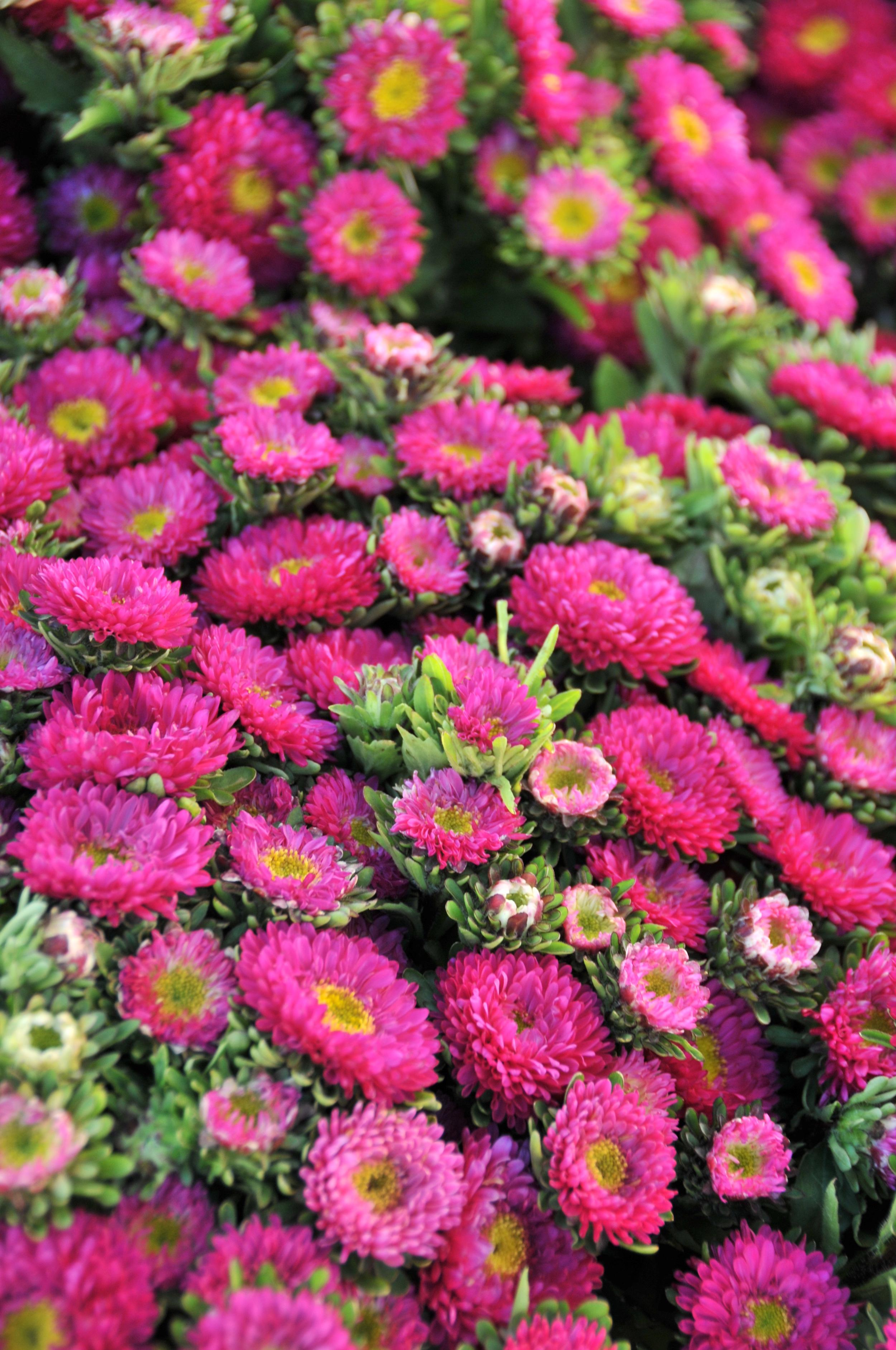 pink aster matsumotos
