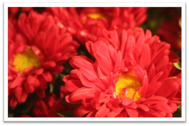 Closeup of the red aster