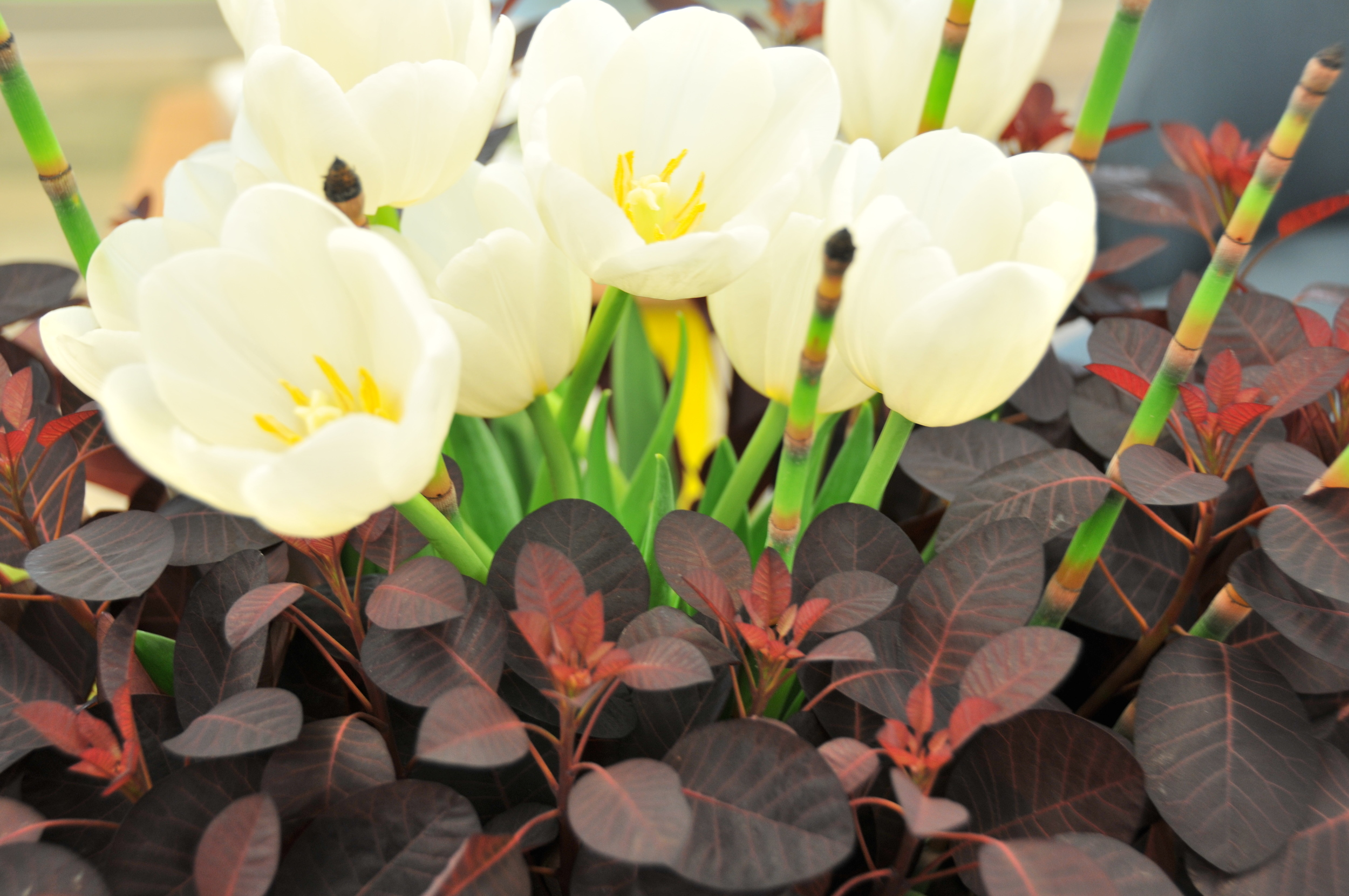Cotinus, Tulips, and horsetails