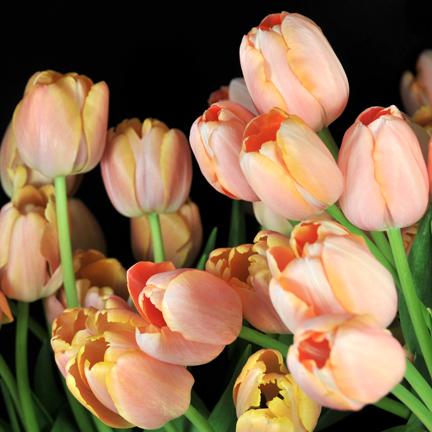 french tulip bunch.jpg