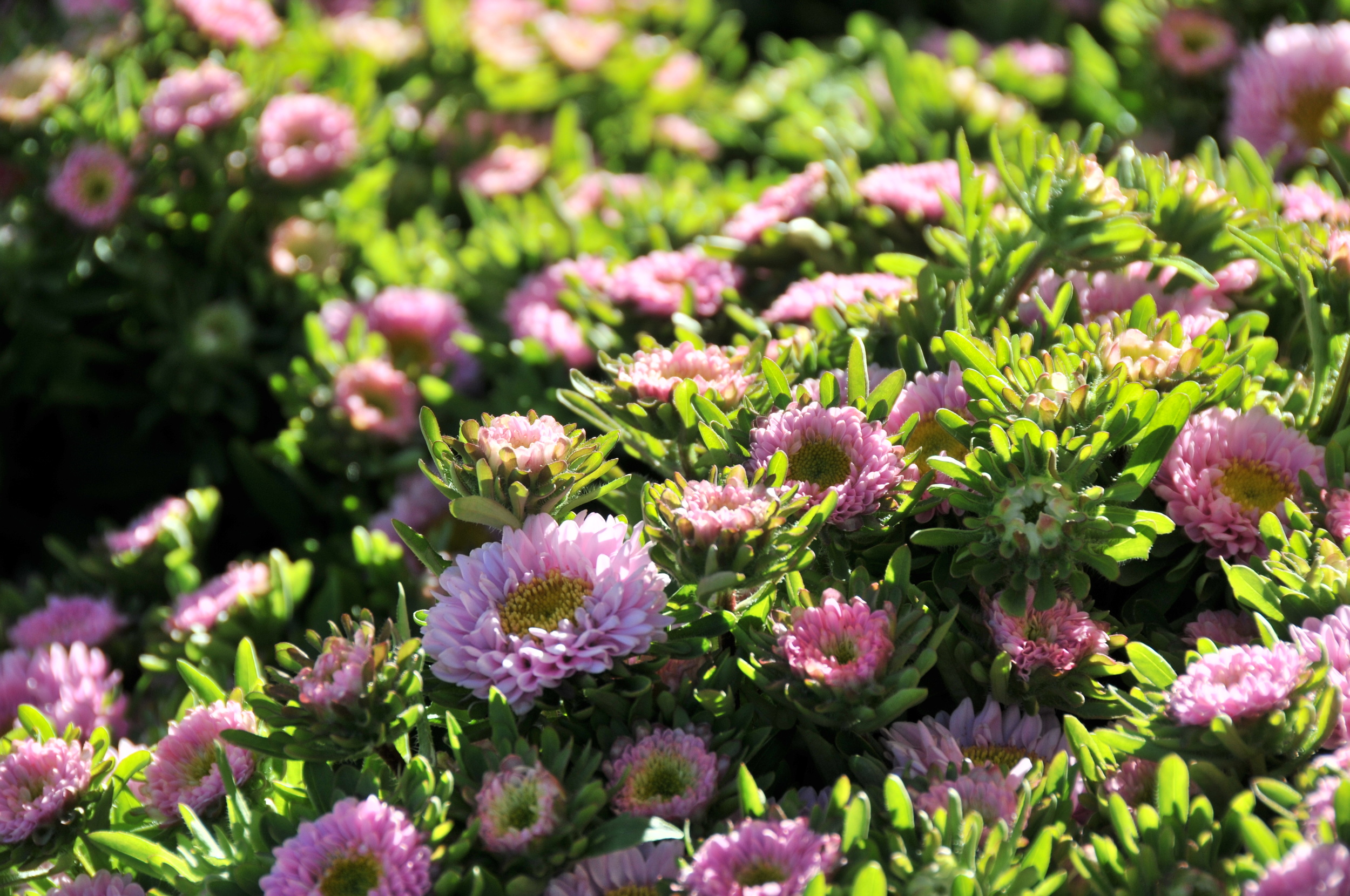 light pink matsumoto asters