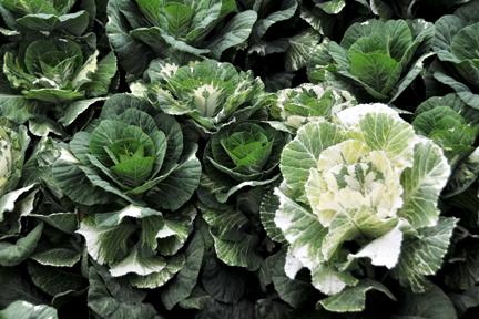 Variegated Kale