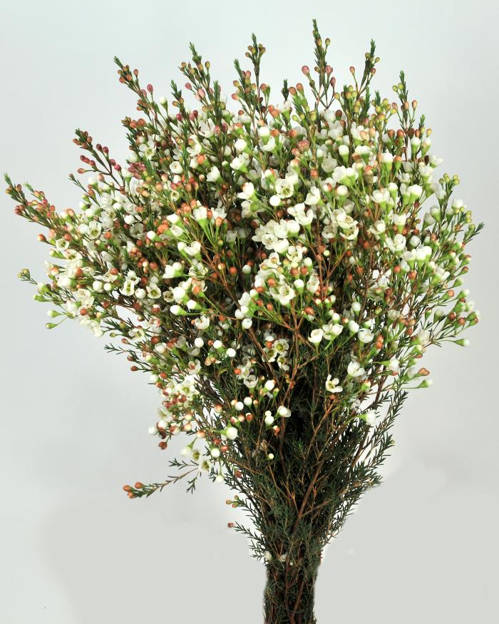 white waxflower