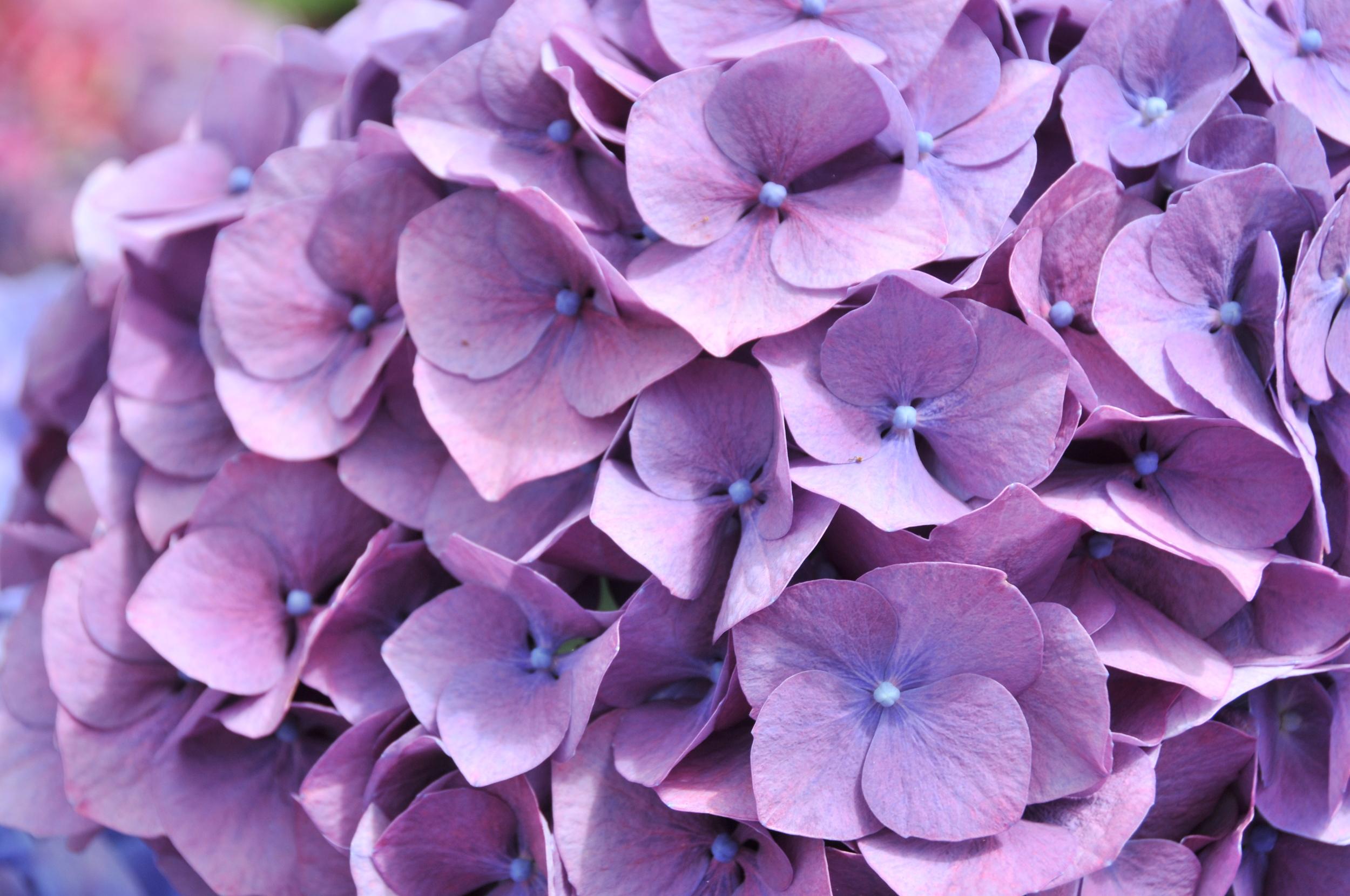 lavendar hydrangea