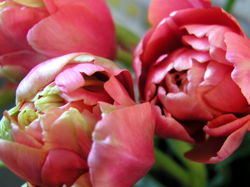 renown unique french tulips