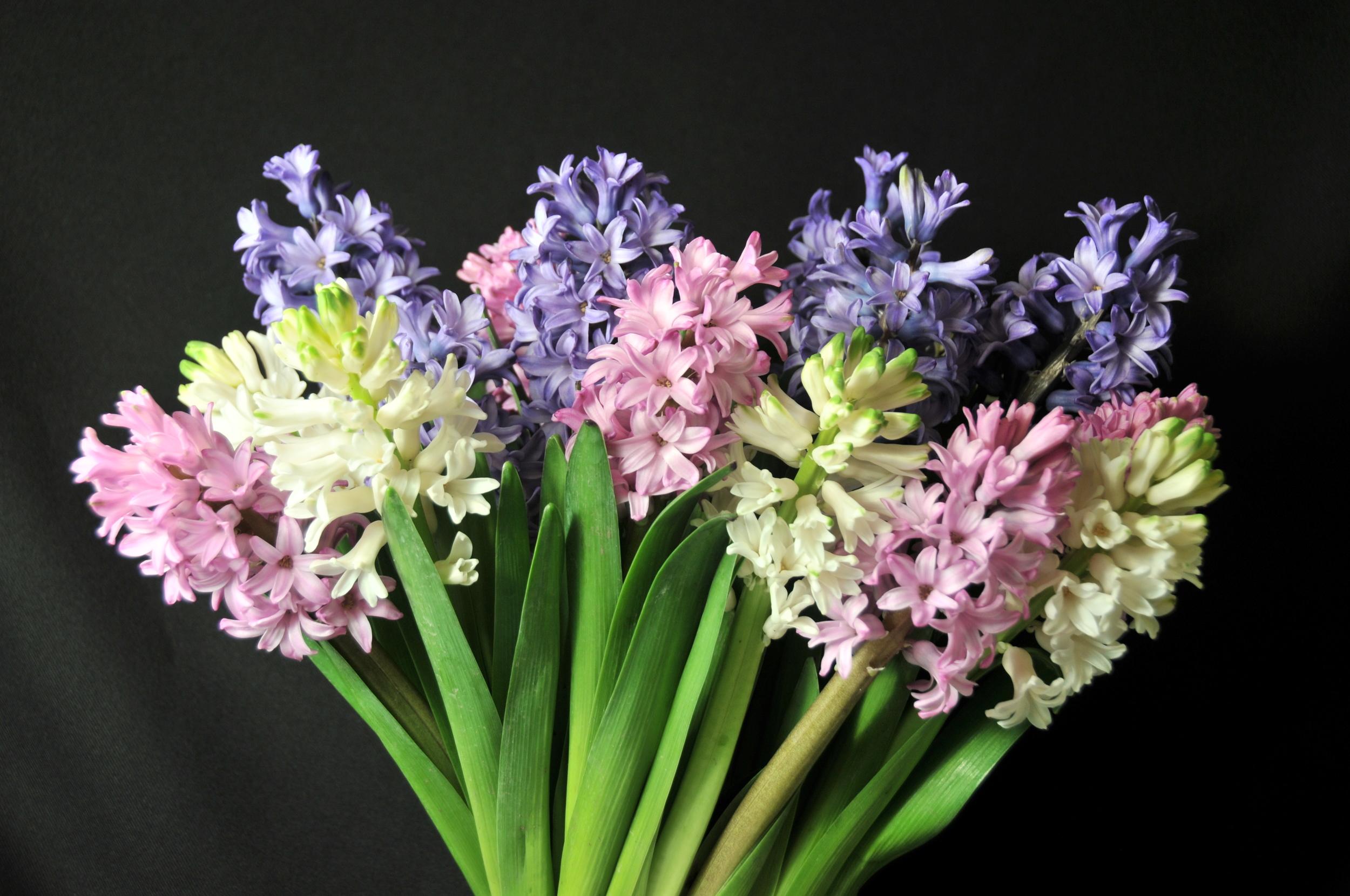 spring color hyacinth