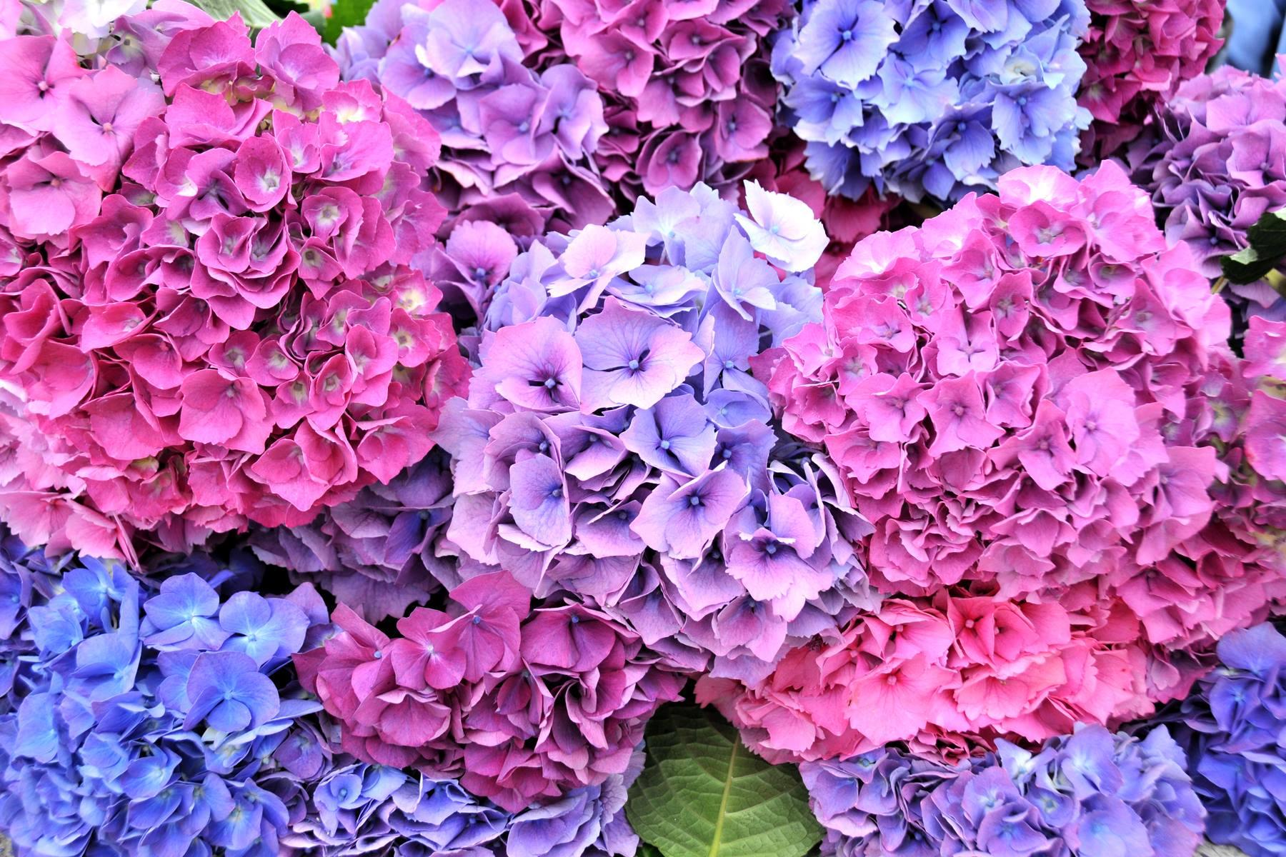 multi color hydrangea