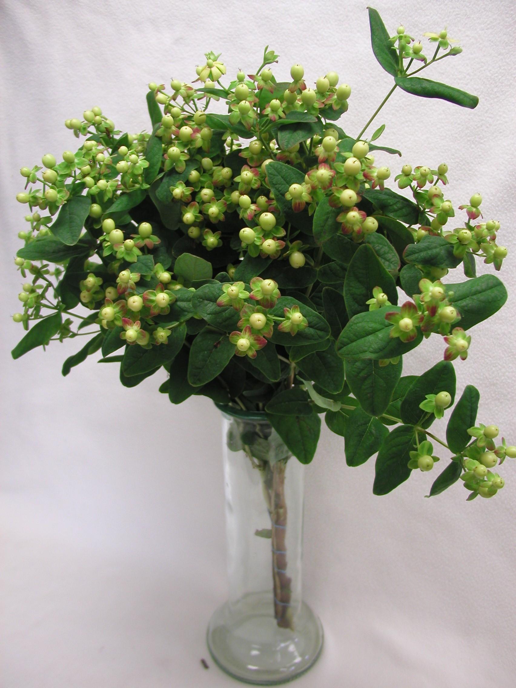 green hypericum