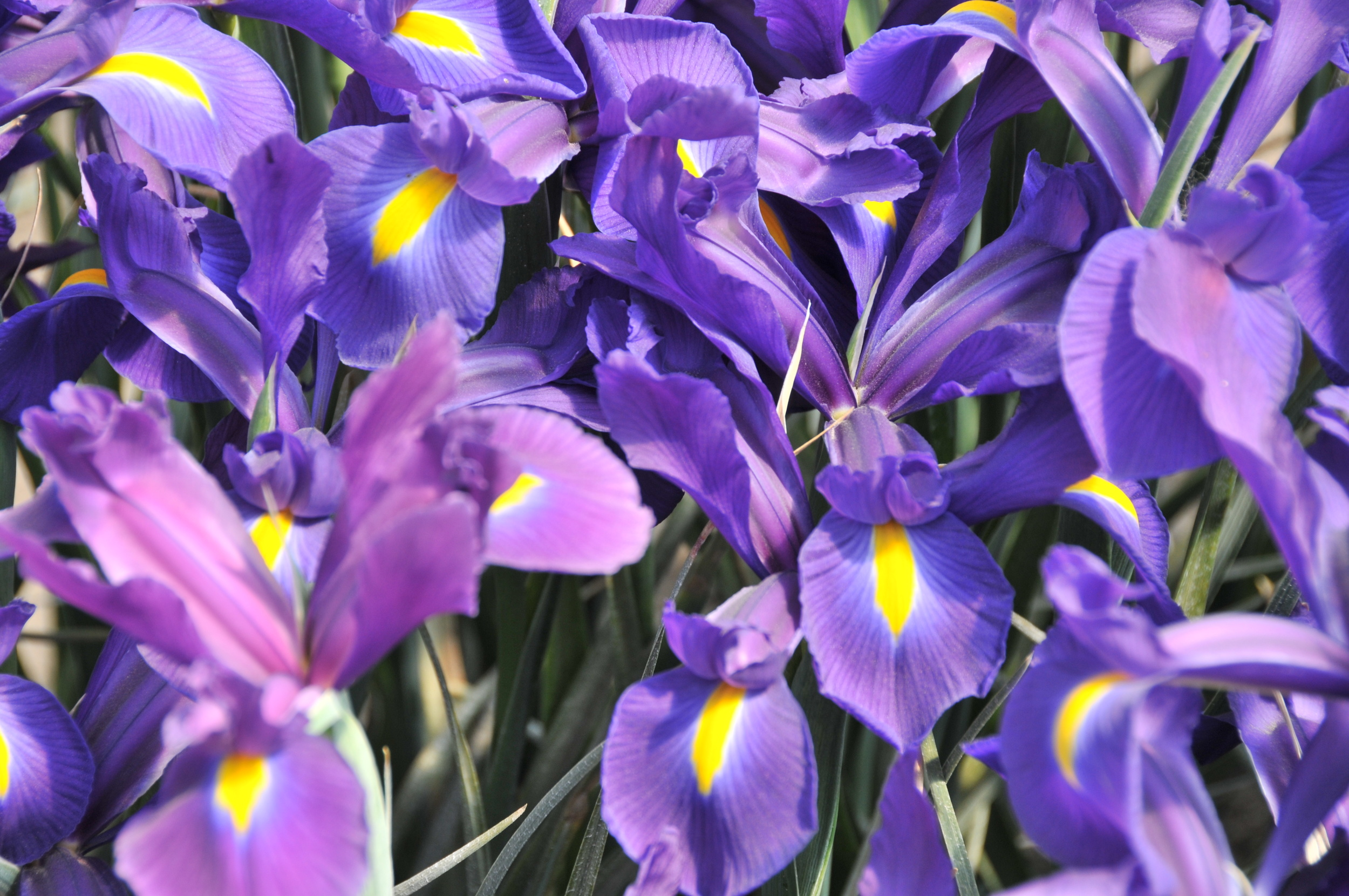 Sun Valley Iris.JPG