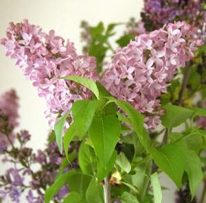 lilac pink information